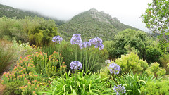 Flora and Mountains (mharoldsewell) Tags: 2020 canon capetown flora g3x january mountains powershot southafrica southernafrica mharoldsewell mikesewell photos