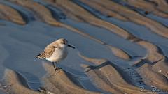 Sanderling (Calidris alba) (BraCom (Bram)) Tags: 169 bracom bramvanbroekhoven burghhaamstede calidrisalba drieteenstrandlopercalidrisalba nederland netherlands sanderling schouwenduiveland westenschouwen zeeland beach bird golf sand strand vogel water wave widescreen zand