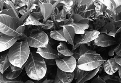 A short discourse on hedges (Fray Bentos) Tags: laurel hedge leaves mamiyam645 ilforddelta400 adoxfx39ii expiredfilm