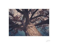 Great Oak (jrobfoto.com) Tags: bealpha okpik muskoxpatrol winter alpha oak oaktree muskox threefirescouncil sony campbigtimber rx100