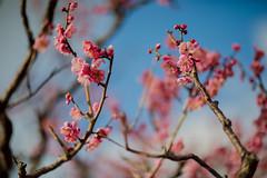 Prunus mume (Jim Mayes) Tags: canon eos digital 85mm ef ef85mmf12lusm 大阪市立長居植物園