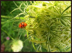IMG_3051 Circling the Globe 7-28-17 (arkansas traveler) Tags: bugs bichos insects ladybug flowers queenanneslace macros macrolicious nature naturewatcher natureartphotography