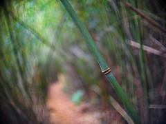 bamboo tunnel (a.pierre4840) Tags: olympus omd em10 micro43 cmount schneider kreuznach xenon 25mm f095 bamboo dof depthoffield selectivefocus bokeh green hongkong trees vignetting holloway