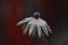 Frozen (Håkan Jylhä (Thanks for +1000000 views)) Tags: närbild closeup close winter vinter frusen frozen blomma flower jylhä håkan sweden sverige rx10iv sony