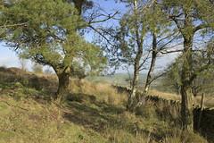 MoorlandGlade (Tony Tooth) Tags: nikon d600 tamron 2470mm glade copse trees moors moorland revidgemoor warslow staffs staffordshire staffordshiremoorlands countryside england