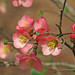 flowering quince in pink
