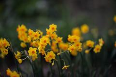 Narcissus × odorus (Jim Mayes) Tags: canon eos digital 85mm ef ef85mmf12lusm 大阪市立長居植物園