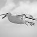 Northern Royal Albatross #4 - New Zealand