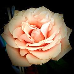 Enchanting Rose (wjaachau) Tags: perennialflowers inspiration abstract sunshine summer landscape nature garden bouquet floral flowers rose