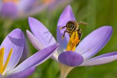 Busy Bee (pstenzel71) Tags: insekten natur tiere bee biene crocus krokus winter insect darktable bokeh ilce7rm3 sel100400gm macromarvels