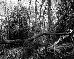 Hyons Wood, Walker Titan SF with Rodenstock Sironar N 150mm, 30 seconds @ f32, Bergger Print Film (ISO 3) in HC110 @ 1+63 for 10min 30sec @ 20C, Scanned on Epson V700 (Jonathan Carr) Tags: berggerprintfilm iso3 tree hyonswood blankandwhite monochrome largeformat 4x5 ancient woodland rural northeast walkertitansf