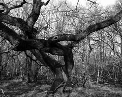 Hyons Wood, Walker Titan SF with Rodenstock Sironar N 150mm, 10 seconds @ f32, Bergger Print Film (ISO 3) in HC110 @ 1+63 for 10min 30sec @ 20C, Scanned on Epson V700 (Jonathan Carr) Tags: berggerprintfilm iso3 tree hyonswood blankandwhite monochrome largeformat 4x5 ancient woodland rural northeast walkertitansf