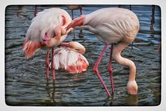 Imbroglio (jmollien) Tags: camargue flamant flamingo rose marais étang oiseaux echassier provencealpescôtedazur nature reflets reflections