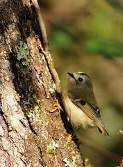 Roitelet huppé (boblecram) Tags: regulus roitelet huppé passereau regulidae oiseaux bird aves ornithologie ornithology wild sauvage muret occitanie