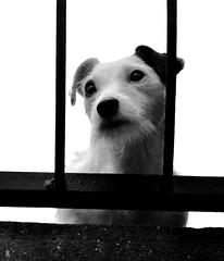 _DSC1363 - Chien (Le To) Tags: nikond5000 noiretblanc nerosubianco bw monochrome animal chien bwartaward