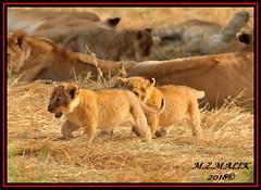 LION CUBS (Panthera leo)....MASAI MARA.....SEPT 2018. (M Z Malik) Tags: nikon d3x 200400mm14afs africa kenya safari wildlife masaimara keekoroklodge exoticafricanwildlife exoticafricancats flickrbigcats lioncubs leo pantheraleo ngc npc