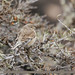 Common Linnet (Linaria cannabina)