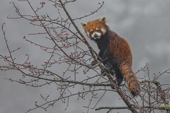 Red Panda (Tim Melling) Tags: ailurus fulgens styani red panda chinese china sichuan timmelling