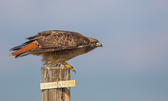 Ready to Take Off (Rick Derevan) Tags: california carrizoplain carrizo hawk redtailedhawk buteojamaicensis buteo cpnm ngc