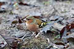 Fringuello - common chaffinch (supersky77) Tags: paludebrabbia lombardia lombardy lombardei lombardie bird birding