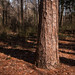 Pine in the preserve