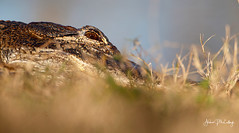 Gator in the Grass (Let there be light (A.J. McCullough)) Tags: texas alligator brazosbend brazosbendstatepark