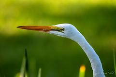 DSC_7567 (tspottr723) Tags: whiteegret bird egret feather bokeh nikond500 d500 tamron 150600 aviary tamron150600 nikon palmcoast florida fl atlantic intercoastal wildlife eyes explore