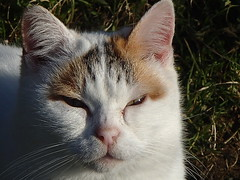 677 (bluefootedbooby) Tags: gatto chat cat gato