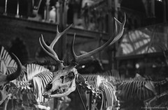 20180117_Nat-Hist_Museum_Electro35_TMAX400_XTOL_28A_web (Bossnas) Tags: 2018 35mm bw electro35 expired film kodak lunchhour naturalhistorymuseum oxford pakon tmax400 xtol yashica