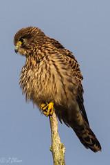 Kestrel (jeanoliver1) Tags: kestrel wildlife titchwell rspb bop talons beak windy