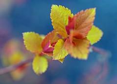 Edges (L@nce (ランス)) Tags: leaves leaf macro micro 40mmf28micronikkordxafs nikon nikkor bokeh victoria jamesbay britishcolumbia