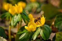 Erste Biene (KaAuenwasser) Tags: biene insekt blüten tier winterling februar 2020 blume stadtgarten karlsruhe