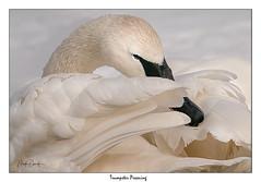 Preening Trumpeter 3 (Mark Darnell) Tags: sleepy nestled preening cozy feathers kelloggwildbirdsanctuary trumpeterswancygnusbuccinator park waterfowl magnificent beauty angelic