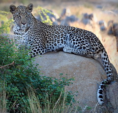 Leopard Prince (RJAB2012) Tags: africa leopard southafrica kruger