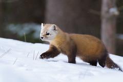 À pas feutrés (jlf_photo) Tags: marte damérique amérique canada wildlife wild faune sauvage animal