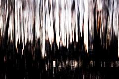 Rainforest. (Skye Auer) Tags: errinundranationalpark errinundra eastgippsland rainforest rain bushfire bush victoria climateemergency disaster skyeauer mountainash trees eucalyptusregnans