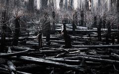 Tree ferns. (Skye Auer) Tags: errinundranationalpark errinundra eastgippsland rainforest rain bushfire bush victoria climateemergency disaster skyeauer treeferns ferns forest