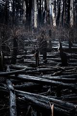 untitled-57.jpg (Skye Auer) Tags: errinundranationalpark errinundra eastgippsland rainforest rain bushfire bush victoria climateemergency disaster skyeauer treeferns ferns forest