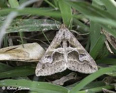 Melipotis cellaris 190217 2 (Robert Epstein) Tags: arthropods hidalgocounty moths nationalbutterflycenter texas wildlife