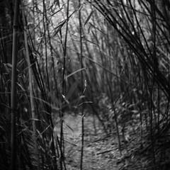 bamboo tunnel (a.pierre4840) Tags: olympus omd em10 micro43 cmount schneider kreuznach xenon 25mm f095 bw blackandwhite noiretblanc bamboo 11 squareformat dof depthoffield selectivefocus bokeh hongkong vignetting holloway