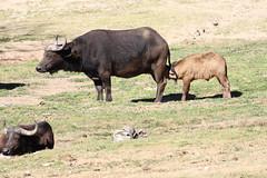 Cape Buffalo with nursing calf (siamesepuppy) Tags: canon7dmkii canonef70300mmf456isiiusm southerncalifornia ccattributionlicense creativecommons cclicense sdzsafaripark sandiegozoosafaripark capebuffalo calf nursing