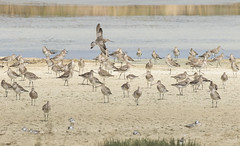 Bar-tailed Godwits (marlin harms) Tags: limosalapponica bartailedgodwit