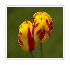 Tulip Twosome (Audrey A Jackson) Tags: canon60d flowers tulips colour red yellow petals nature garden macro closeup inexplore