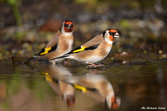 Cardellino _005 (Rolando CRINITI) Tags: cardellino uccelli uccello birds ornitologia avifauna castellettomerli natura riflesso