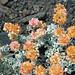 Eriogonum ovalifolium (cushion buckwheat) (Big Craters, Craters of the Moon Lava Field, Idaho, USA) 3