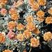 Eriogonum ovalifolium (cushion buckwheat) (Big Craters, Craters of the Moon Lava Field, Idaho, USA) 2