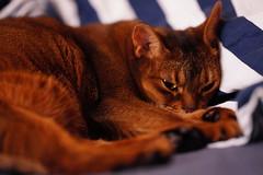 Lizzie resting (DizzieMizzieLizzie) Tags: lizzie resting sony fe 135 mm 18 gm 2020 ilce7r a7rm4 a7rmiv ilce7rm4 f18 135mm a7riv dof bokeh golden classic pose ilce chat gatos neko pisica meow kot katze katt gatto gato feline cat portrait dizziemizzielizzie aby abyssinian closeup sonyfe135mm18gm