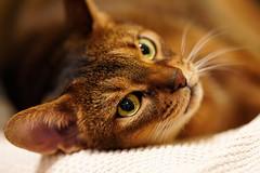 Lizzie close-up (DizzieMizzieLizzie) Tags: lizzie closeup sony ilce7rm4 fe 135mm f18 gm abyssinian aby dizziemizzielizzie portrait cat feline gato gatto katt katze kot meow pisica neko gatos chat ilce pose classic golden bokeh dof a7riv a7rmiv a7rm4 ilce7r 2020 sonyfe135mm18gm