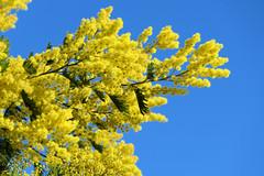 P1260645 (alainazer) Tags: marseille provence france fiori fleurs flowers ciel cielo sky colori colors couleurs mimosa