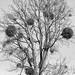 Tree with misteltoe
